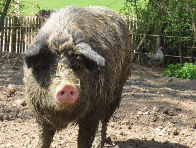 Ungarisches Wollschwein