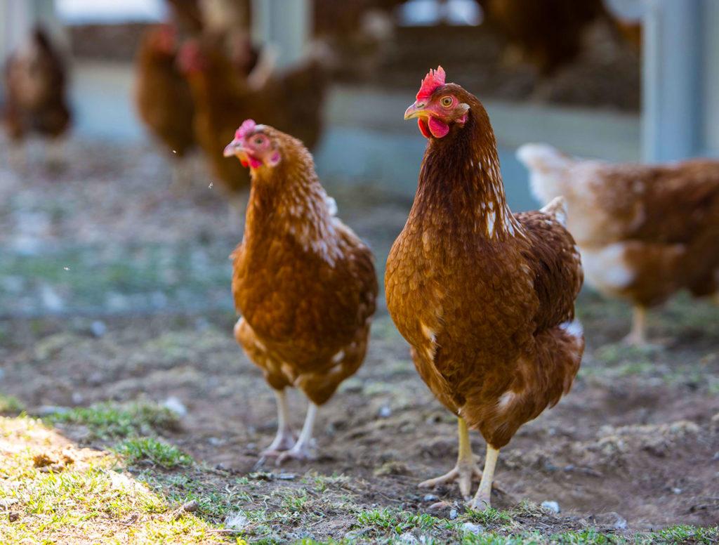 Hühner auf dem Eichhof